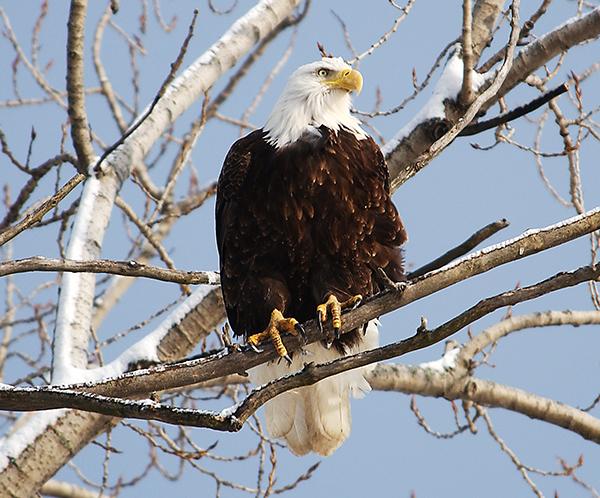 Eagle-on-Branch-